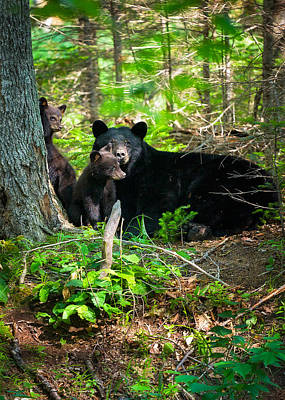 Photograph - The Ultimate Single Mother Black Bear Sow And Cubs by Jeff Sinon