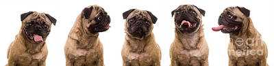 Pug Wall Art - Photograph - The Usual Suspects by Edward Fielding