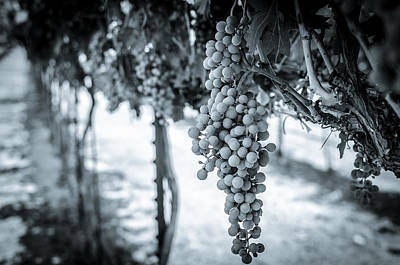 Photograph - The Vineyard   Bw by David Morefield