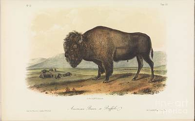 Painting - The Viviparous Quadrupeds Of North America by Celestial Images