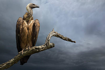Vulture Wall Art - Photograph - The Vulture by Mario Moreno
