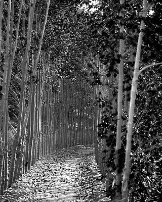 Photograph - The Wall Of Trees II by Robert Culver