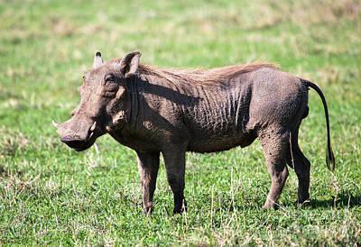 The Warthog On Savannah In The Ngorongoro Crater. Tanzania Art Print by Michal Bednarek