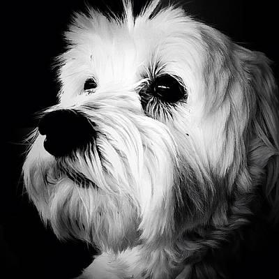 Maltese Dog Photograph - The Watcher by Natasha Marco
