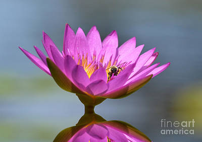 The Water Lily And The Bee Art Print by Kathy Baccari