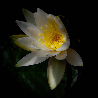 Photograph - The Water Lily by David Patterson
