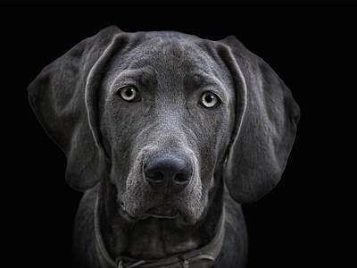 The Weimaraner Print by Joachim G Pinkawa