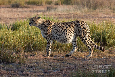 Photograph - The Well Fed Cheetah by Chris Scroggins