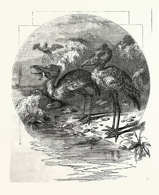Stork Drawing - The Whale-headed Stork by English School