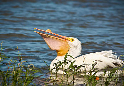 Cabin Window Photograph - The White Pelican by Robert Frederick