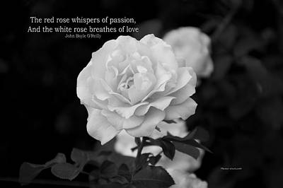 The White Rose Breathes Of Love Art Print by Thomas Woolworth