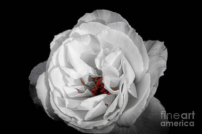 Photograph - The White Rose by Ken Johnson