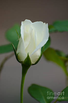 Photograph - The White Rose Matters Of The Heart by Donna Brown