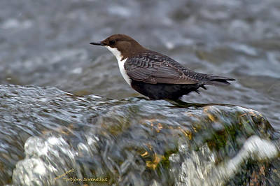 Design Turnpike Books Royalty Free Images - The White-throated Dipper Royalty-Free Image by Torbjorn Swenelius