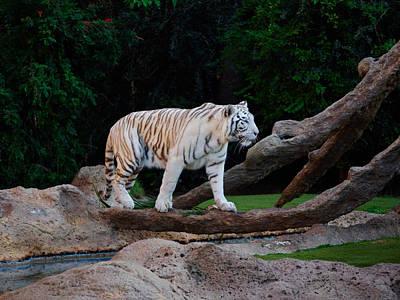 Photograph - The White Tiger by Jouko Lehto