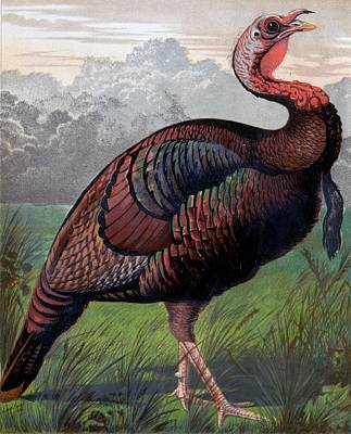 Drawing - The Wild American Turkey Cock by Ludlow