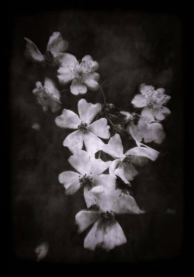 Photograph - The Wild Roses by Louise Kumpf