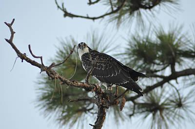 Osprey Digital Art - The Wild Osprey by Bill Cannon