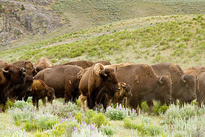 Bison Photograph - The Wild West by Bill Gallagher