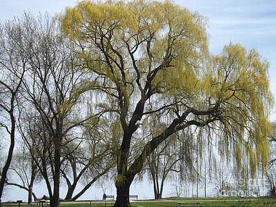 Photograph - The Willow Weeped by Brenda Brown
