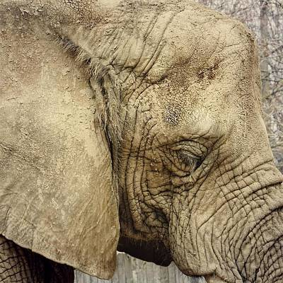 Art Print featuring the photograph The Wise Old Elephant by Nikki McInnes