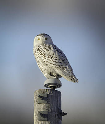 Telephone Poles Photograph - The Wise Snowy Owl by Thomas Young