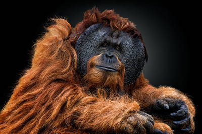 Orangutan Photograph - The Witness by Pedro Jarque