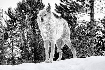 Daysray Photograph - The Wolf  by Fran Riley