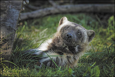 University Of Michigan Photograph - The Wolverine Skunk Bear Happy Face by LeeAnn McLaneGoetz McLaneGoetzStudioLLCcom