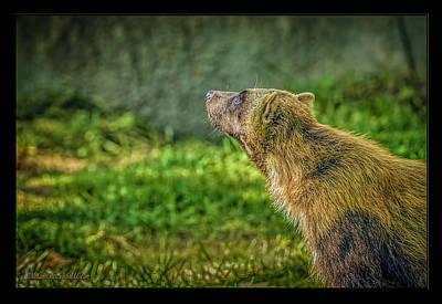 Endangered Photograph - The Wolverine Skunk Bear Promise by LeeAnn McLaneGoetz McLaneGoetzStudioLLCcom