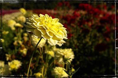 Wedding Flowers Ideas Photograph - The Yellow Dahlia by Thom Zehrfeld