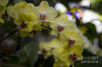 Photograph - The Yellow Orchid by Shishir Sathe