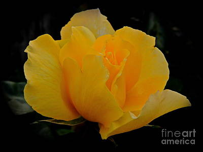 Photograph - The Yellow Rose by Eve Spring