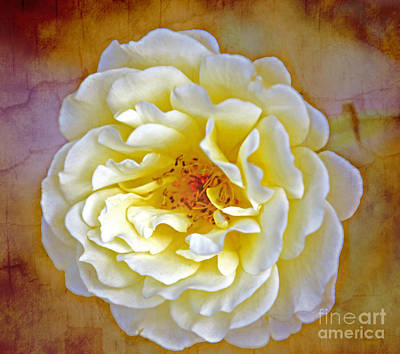 Photograph - The Yellow Rose Of Omaha by Elizabeth Winter