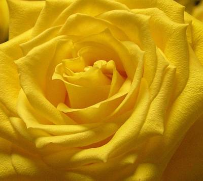 Photograph - The Yellow Rose Of Texas by Annika Farmer