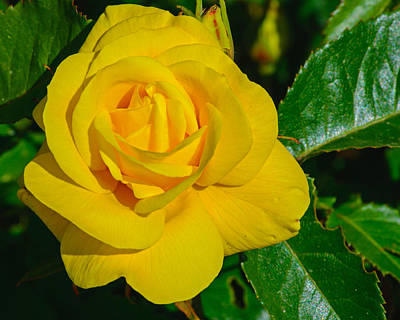 Photograph - The Yellow Rose by Tikvah's Hope