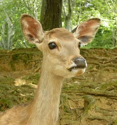The Young Deer Original