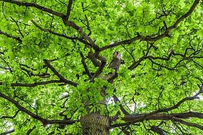 The Young Oak Art Print by Semmick Photo