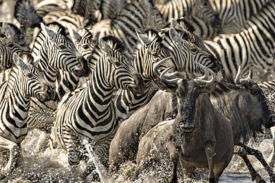 The Zebra Rush Print by Paul W Sharpe Aka Wizard of Wonders