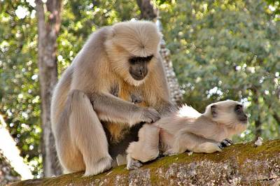Photograph - There Is Nothing Like A  Backscratch - Monkeys Rishikesh India by Kim Bemis