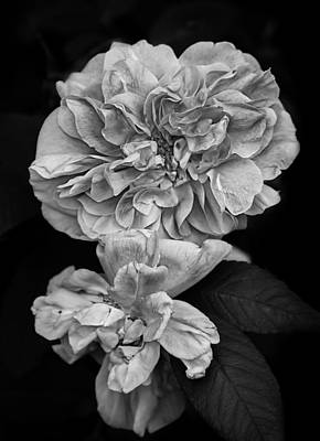 Flower Gardens Photograph - Therese Bugnet Rose I  by Maggie Terlecki