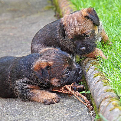 They Can Still See You - Border Terrier Puppies Art Print by Gill Billington