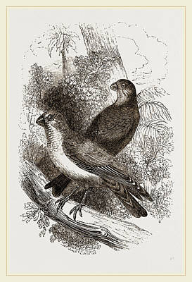 Bullfinch Wall Art - Drawing - Thick-billed Bullfinches by Litz Collection