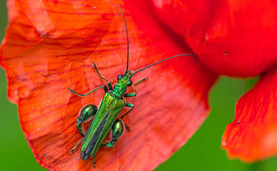 Photograph - Thick Legged Beetle by Gary Gillette