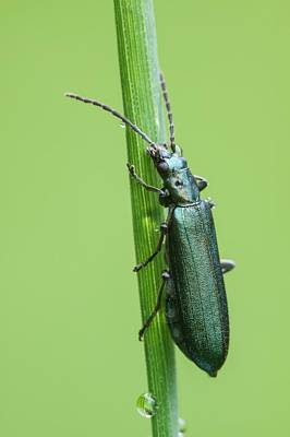 Stoke Photograph - Thick-legged Flower Beetle by Heath Mcdonald