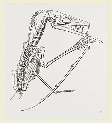 Pterodactyle Drawing - Thick-muzzled Pterodactyle Restored by Litz Collection