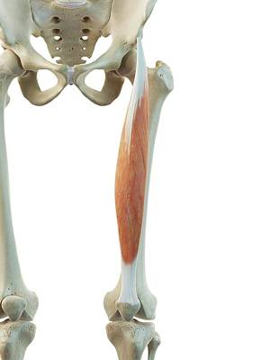 Biomedical Illustration Photograph - Thigh Muscle by Sciepro