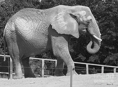 Photograph - Thika The Elephant by Nina Silver