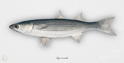 Grey Mullet Painting - Thinlip Mullet Liza Ramada - Mulet - Morragute - Cefalo - Tainha Tunnlaeppad Multe - Roendungur by Urft Valley Art