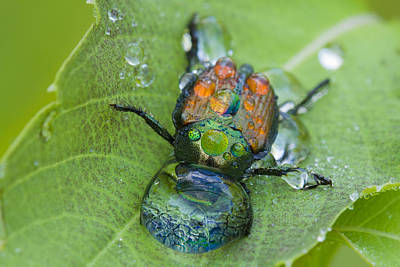 Netting Photograph - Thirsty Beetle by Mircea Costina Photography